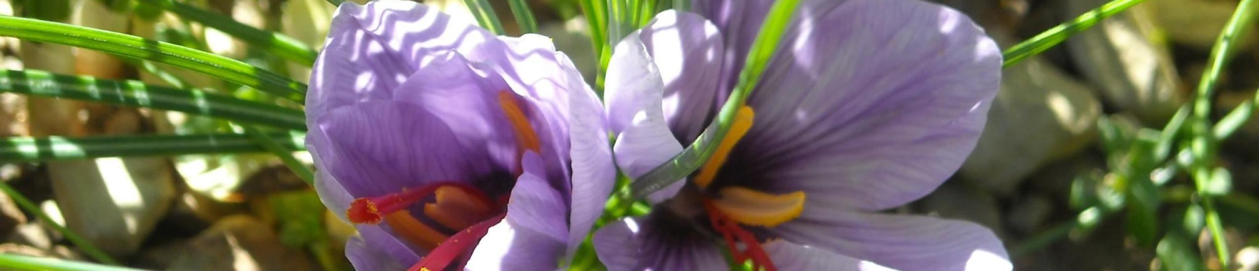 Il fiore dello zafferano
