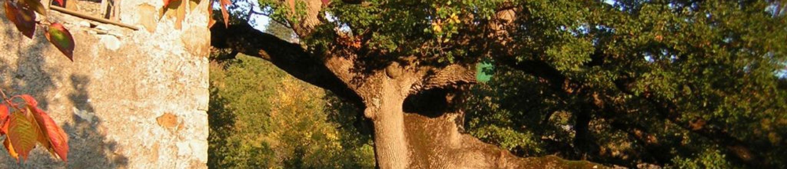 Quercia monumentale di Gosita - genere Roverella (0)
