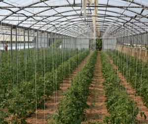 I pomodori coltivati in serra
