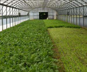L'insalata coltivata in serra